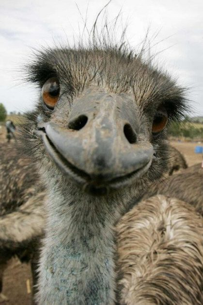 These 25 adorable animals staring at you are the ultimate - Autruche bebe ...