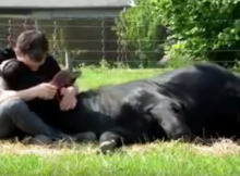 Bull Meant For Bullfighting Became A Snuggler Instead