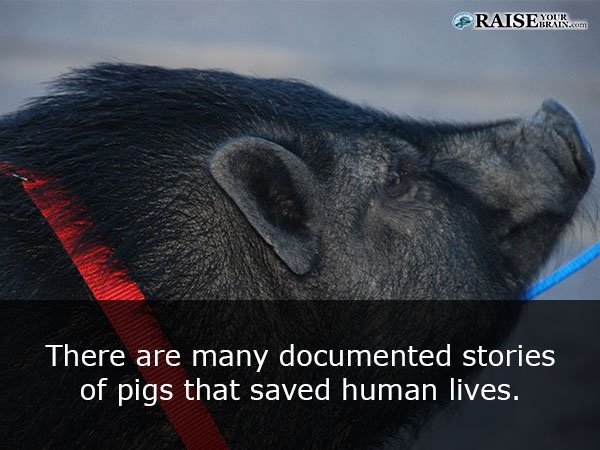 10 Astounding Pig Facts Everyone Should Know (Must Share)