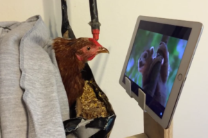 Chickens are smarter than toddlers! Here Are 4 Curious Facts To Prove It