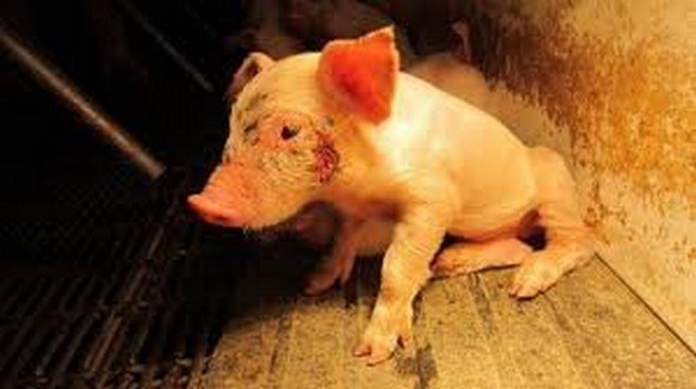 11 Startling Reasons To Step Up Against Factory Farming Even If You Are Not Vegan