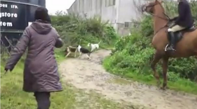 Brave Woman Throws Herself To Save A Fox Despite The Hunters Screaming At Her!