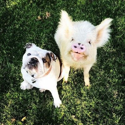 Cutest Pig Acting Like A Dog Among His Puppy Family Gives More Reasons To Eliminate 'Pork' As A Word