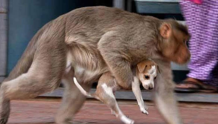 Watching This Monkey Take Care Of The Puppy She Saved Will Do So Much More Than Touch Your Heart!