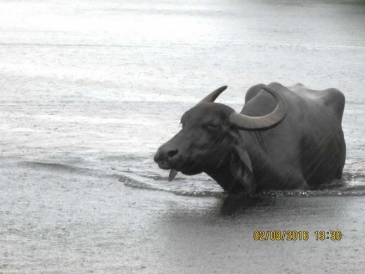Stop ALL That You're Doing And Watch This Rescued Water Buffalo Play!