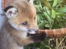 Farmer Wanted To Shoot Tiny Baby Fox But When He Went For This Gun… This Happened Instead!
