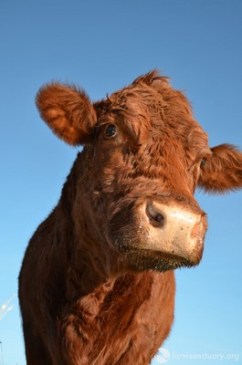 What This Rescued Cow Does for Babies at Her Sanctuary Home Will Melt Your Heart