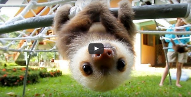 Watch Rescued Baby Sloths Have A Conversation And Try Not To Smile