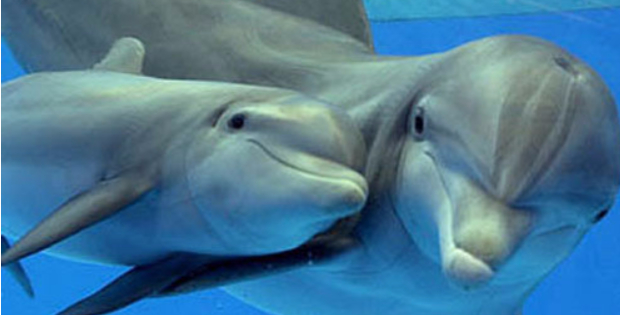 http://cok.net/blog/2016/09/dolphins-talk-to-each-other-and-so-do-farmed-animals/