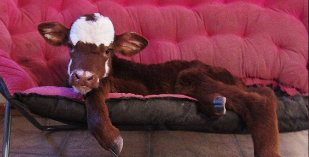 This Is How Rescued Mini Cow Got Her Best Life Because Of Her Size!