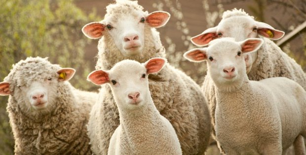 Vegan Protest Shut Down 27-Year-Old Easter Sheep Race